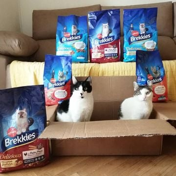 Iris y Neo son los #influenkkies de Marzo de brekkies_es Aquí les tenemos, posando triunfales con su premio 🏆😸 ¿a qué están para comérselos? Deslizando en los siguientes vídeos les podéis ver investigando 🔎, porque ellos ya se olían que este paquete era para ellos 🤤 ¡Qué genial, muchísimas gracias! (La caja por supuesto, también se queda, que les ha encantado🤭💖)